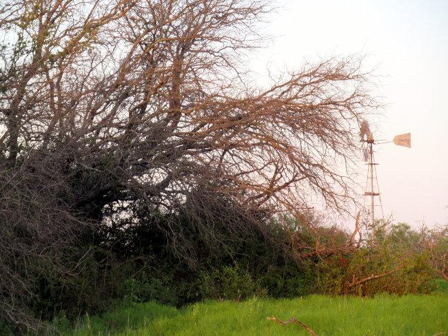 dead tree and windmill