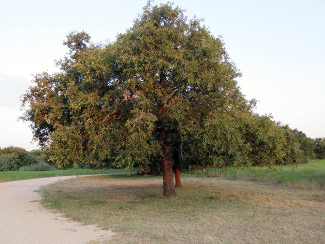 tree_driveway_autoleveled650w