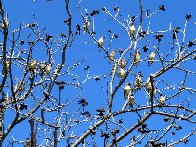 pecan_tree_aviary2_650w