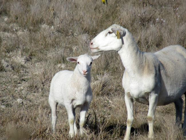 lamb (2)