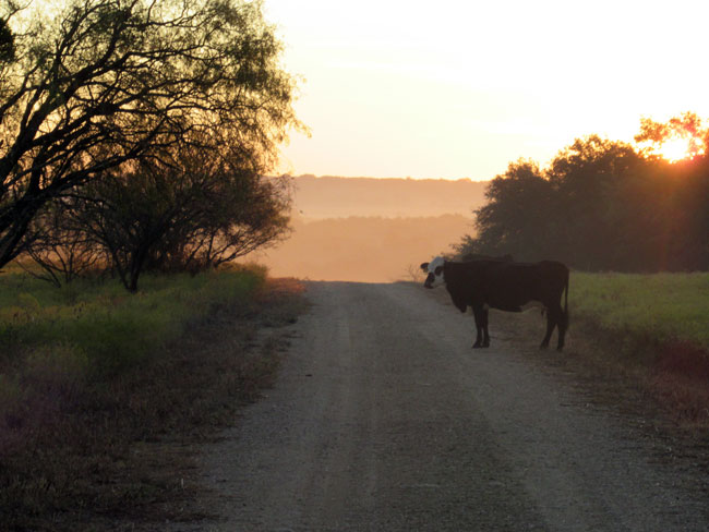 sunrise cow