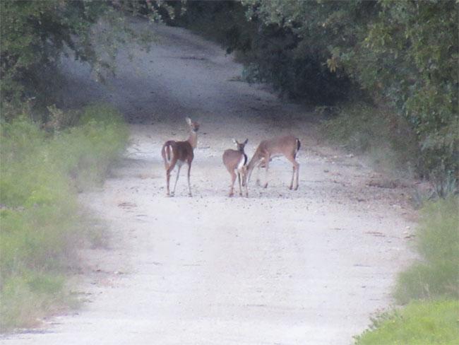 deer_road