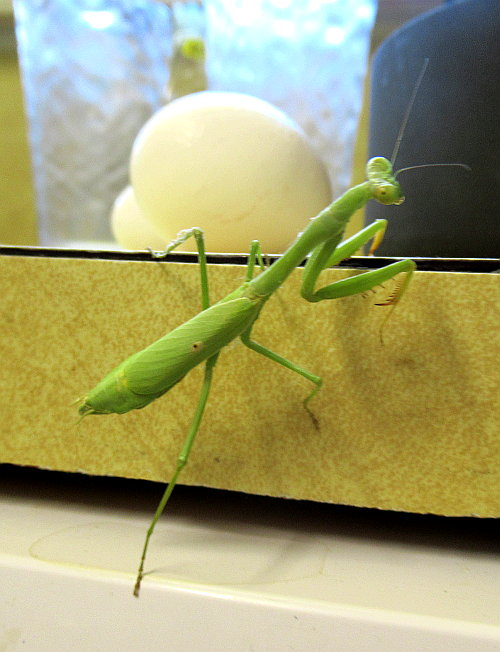 kitchen mantis
