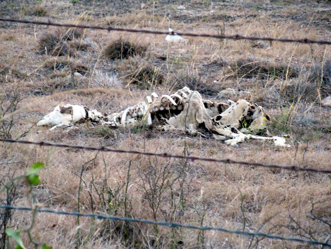 sheep bones